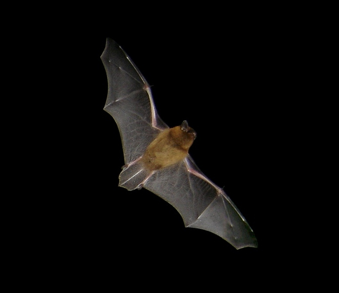 Common Pipistrelle, Pipistrellus pipistrellus, in flight.jpg